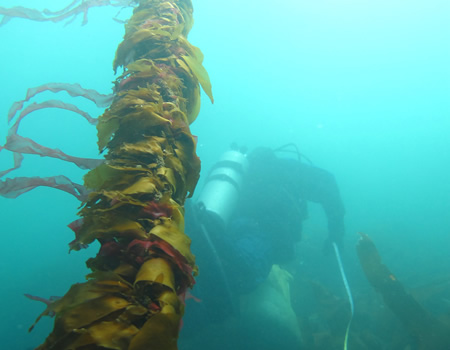 lone bull kelp underwater with diver swimming by