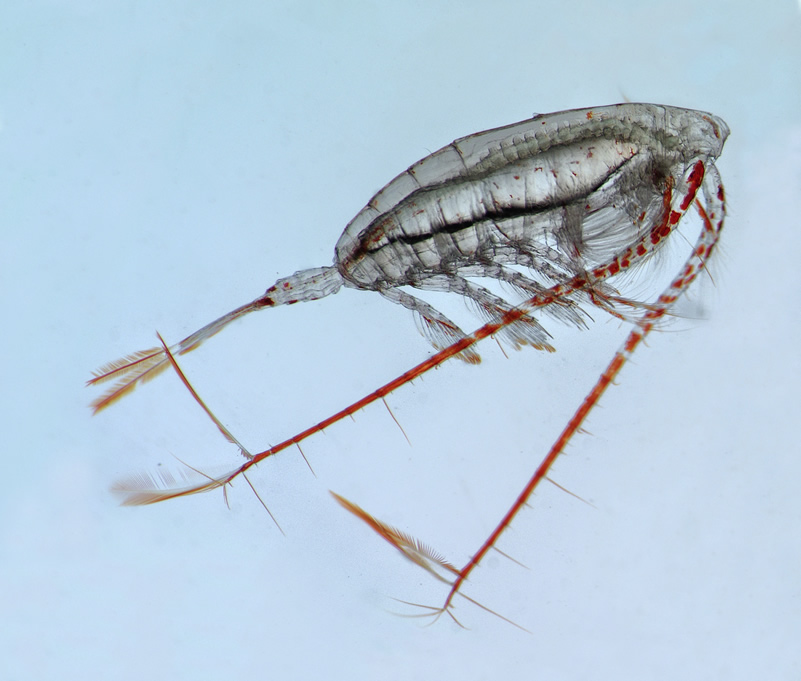 close up image of zooplankton species